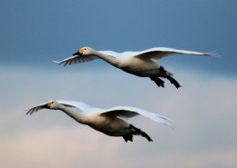 Bewick's in flight by Colin Butters