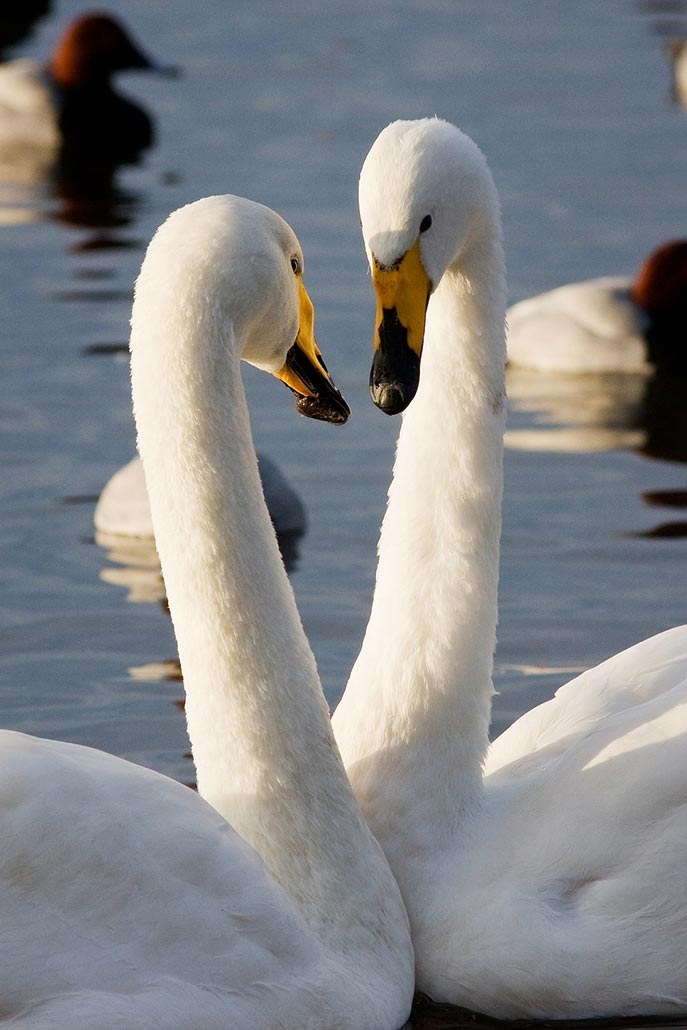 swan specialist group whooper
